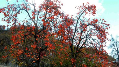 Плодовитое дерево хурмы